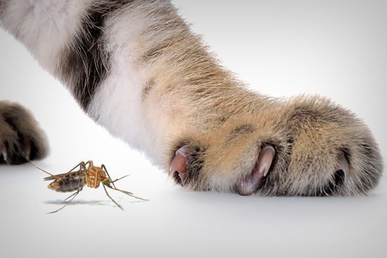 Can My Cat Get Zika?