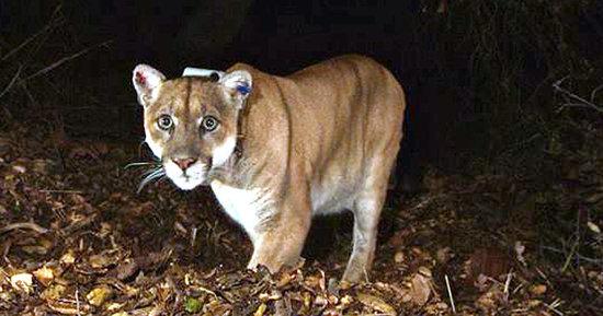 LA's Celebrity Mountain Lion Suspected Of Killing A Zoo Koala