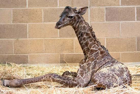 Newborn Giraffe Is 19th to Be Born at Sacramento Zoo