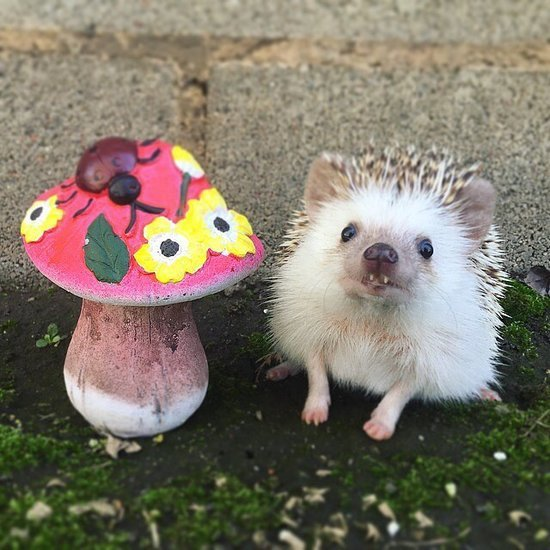 Huff the Hedgehog Instagram