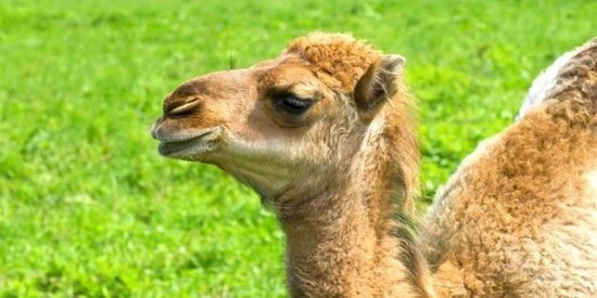 Here's Why People Are Putting Camel Milk In Their Coffee. No, Really.