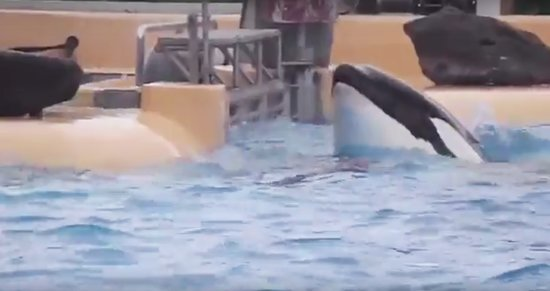 Footage Shows Distressed SeaWorld Orca Banging Head Against Wall at Island Resort