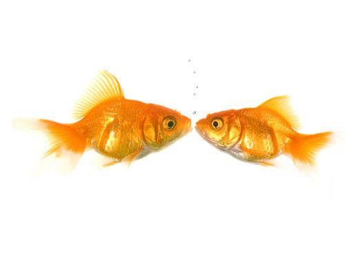 The Kissing Goldfish