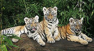 Sugar Shout Out: Nuremberg Zoo Debuts Siberian Tiger Cubs!