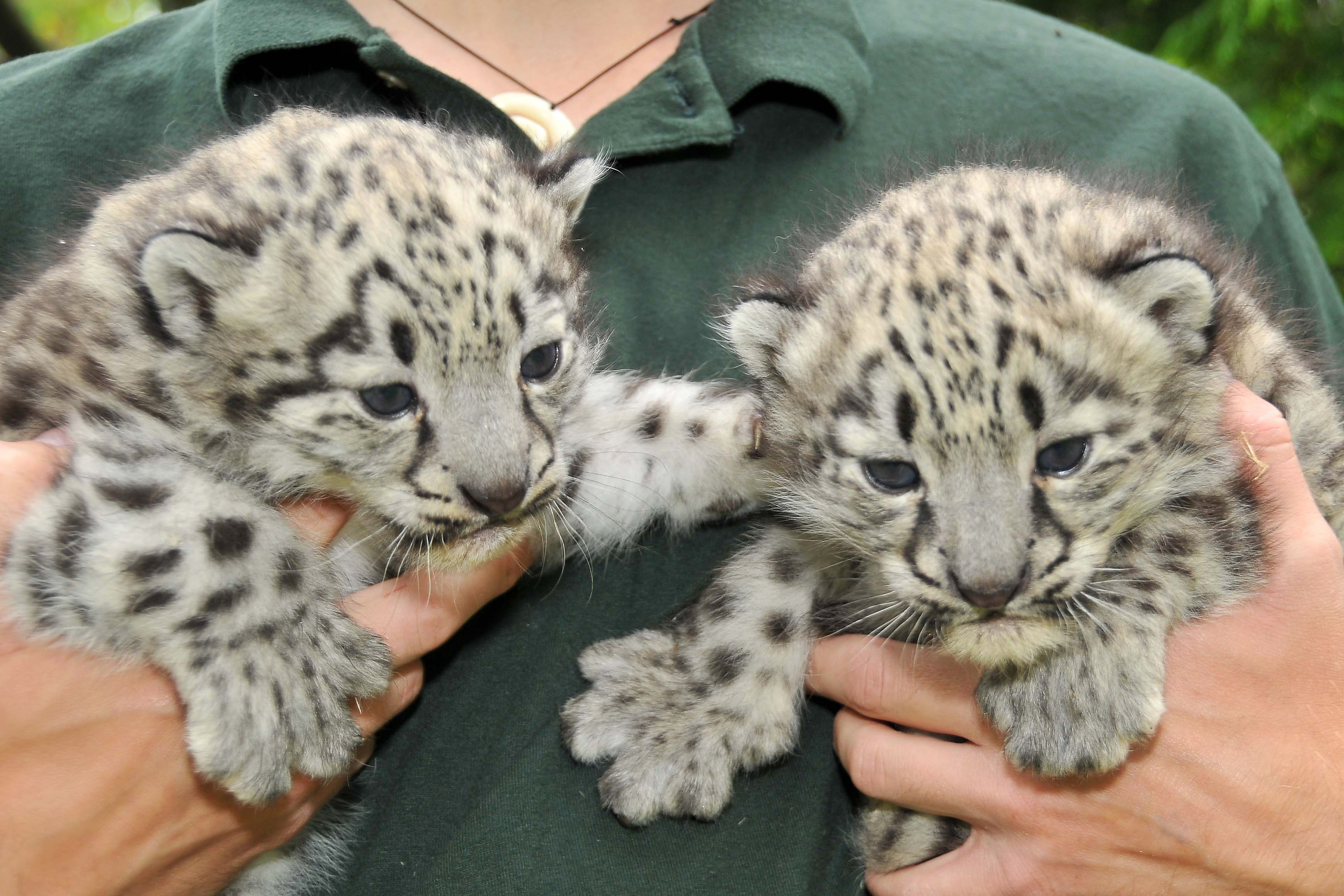 Cute baby snow leopard cubs - photo#27