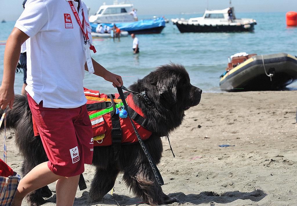 Newfoundland Water Rescue Dog!