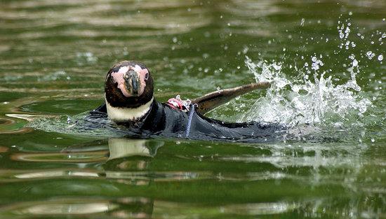 Cute Alert: Ralph the Penguin Needs a Wetsuit
