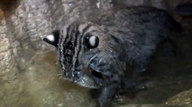 Fishing Cat Kittens