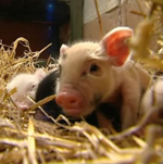 The Scoop: There's Less to Love With Micro Pigs
