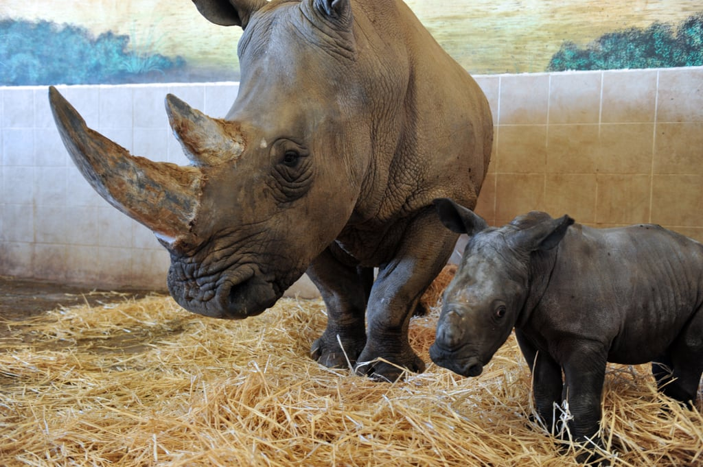 Even though they are colloquially known as horns, the two growths on the face of a white rhinoceros are made of solid keratin.