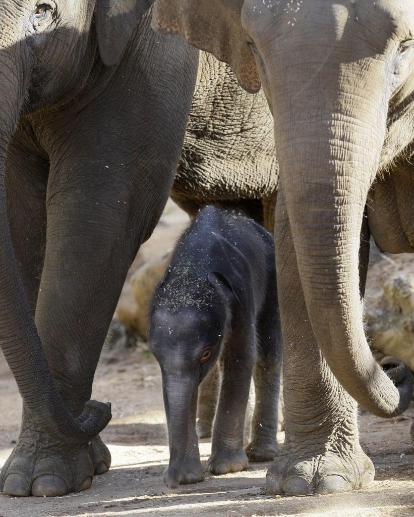 Baby Elephant At Taronga Zoo!