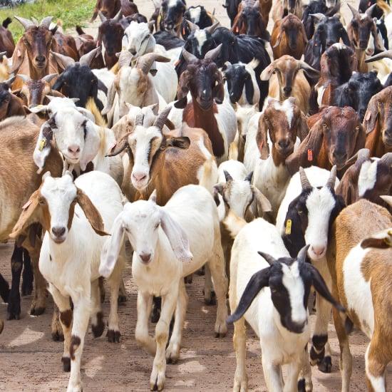 Baby Goats Talk Back | Video
