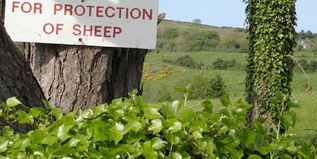 Protection Of Sheep