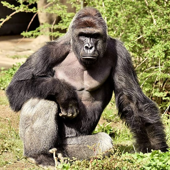 Hollywood Reacts to Controversial Killing of Endangered Gorilla at Cincinnati Zoo