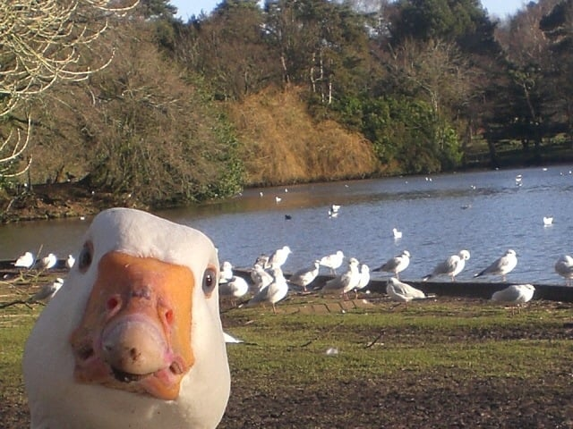 Quack in Your Face