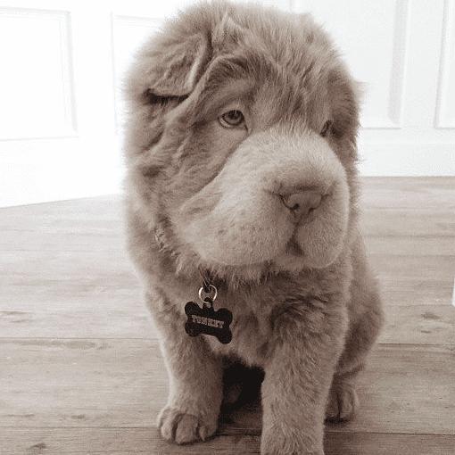 Cute Tonkey Bear Dog on Instagram