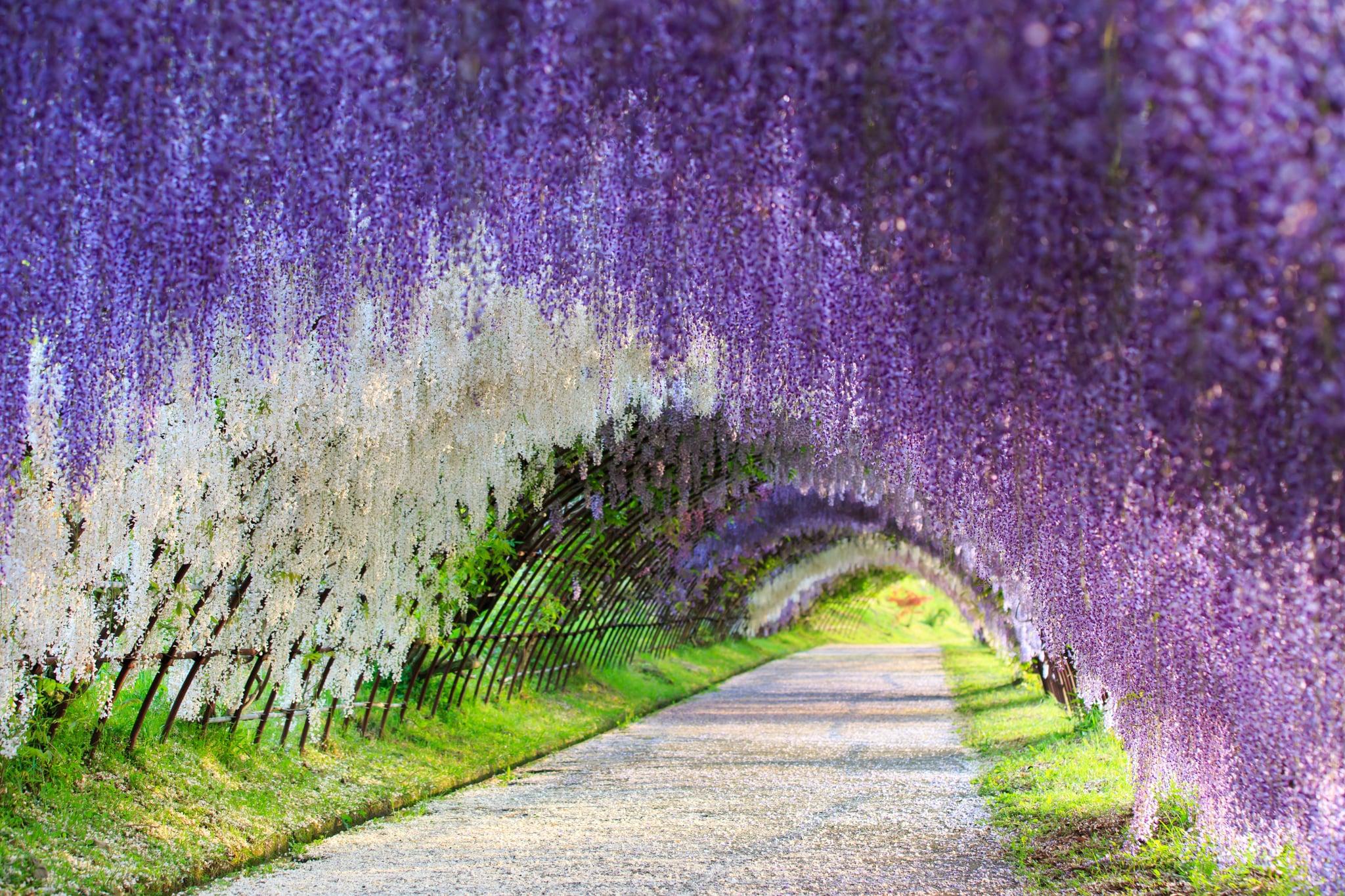 Run Through A Wisteria Flower Tunnel In Japan 83 Travel