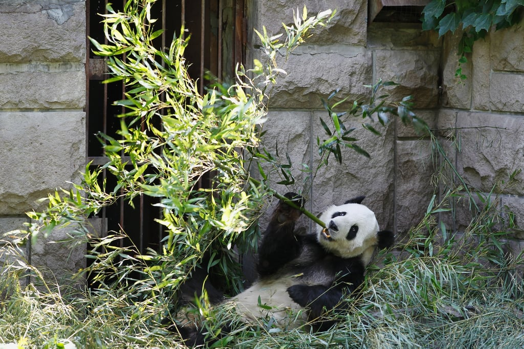 Snack time! This panda lounges while eating his bamboo.
