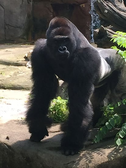 'King Kong' Gorilla Dragged 4-Year-Old 'Like a Raggedy Ann Doll' Before Zookeepers Killed It, Witness Says