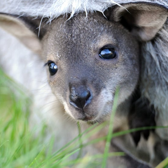 Baby Kangaroo in Mother's Pouch