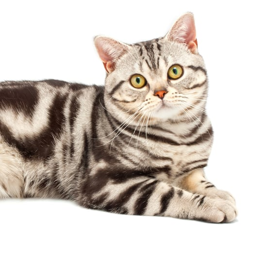 American Shorthair Cats Trivia