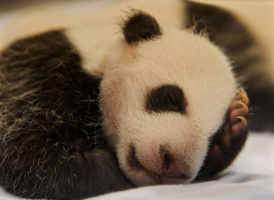Pictures of Giant Panda Babies