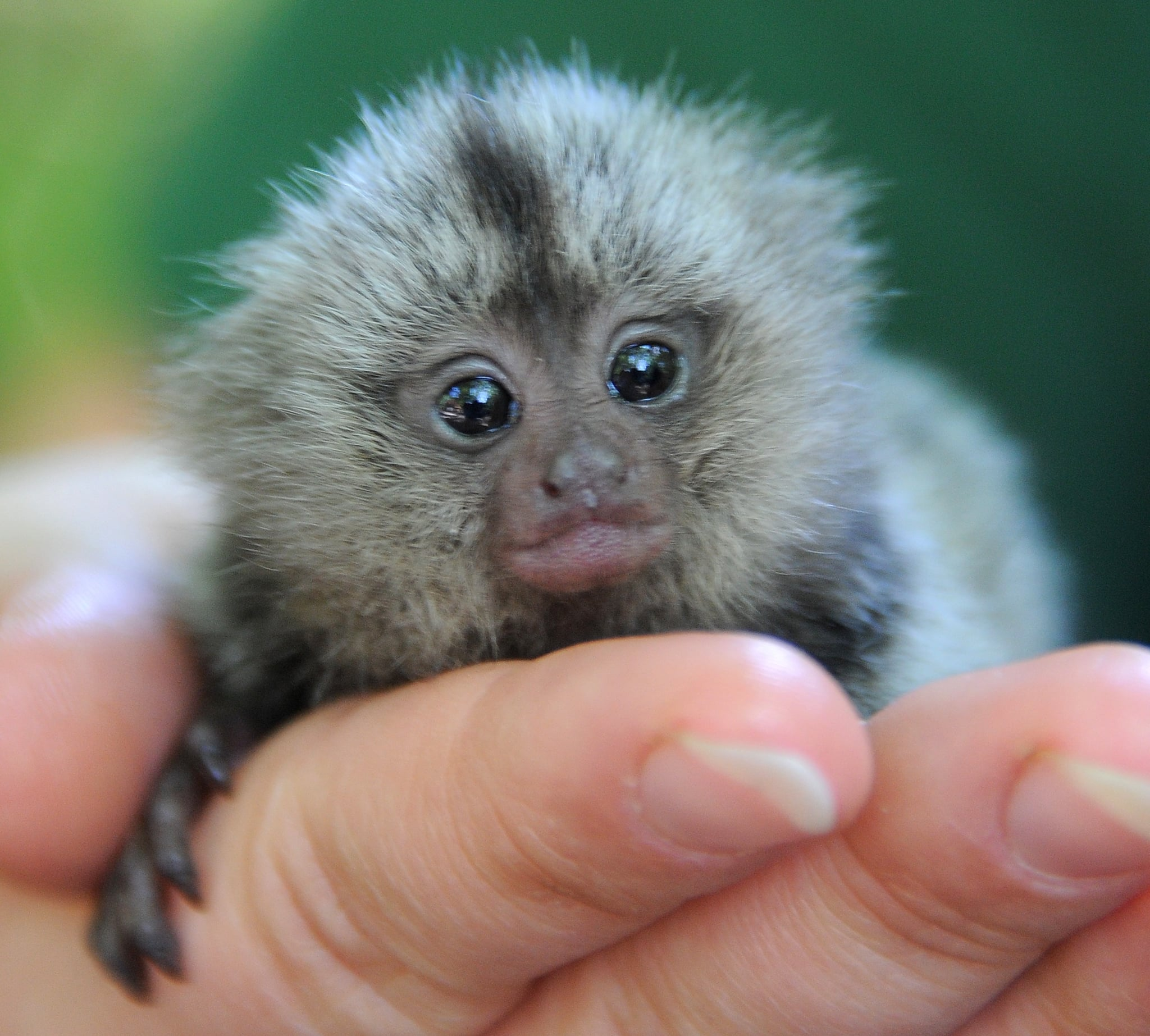 A newborn marmoset gets a hand from zookeepers in his first few hours of life.
