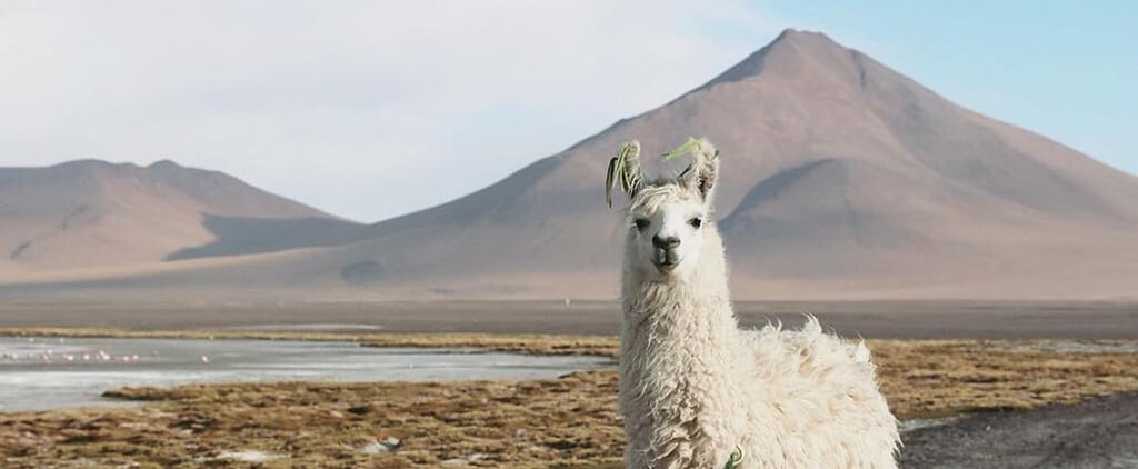 Instagram of the Day: Llama in Bolivia