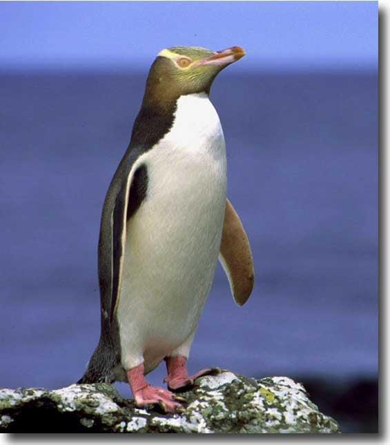 Yellow-Eyed Penguins