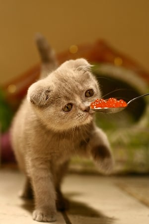 Your cat's tastes are far too refined for regular old dry food. Give him only the best, like red salmon caviar for pets ($50), just like the royals have done throughout history.