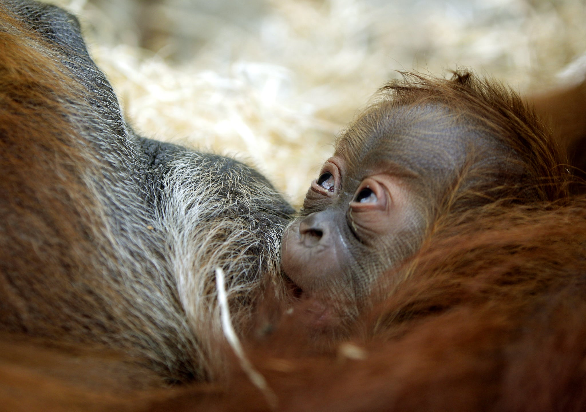 A young orangutan only has eyes for mom.