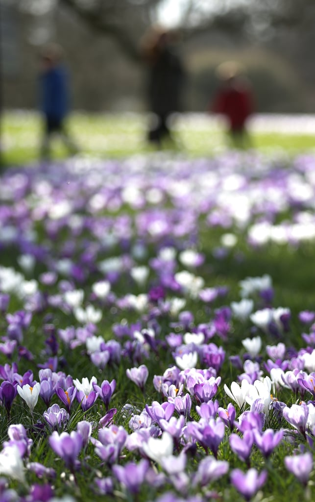People walked through the park in London with the first signs of Spring in bloom.
