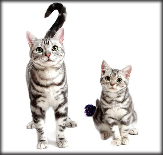 Who's That Cat? The American Shorthair — Born in the USA