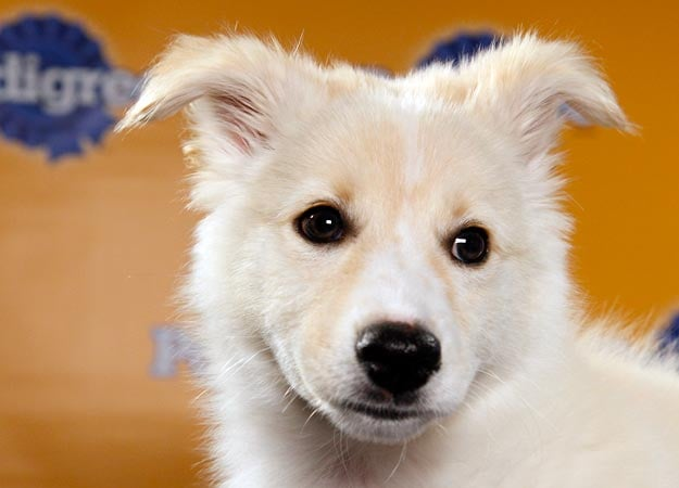 Meet Aberdeen, a blond Australian shepherd mix. Source: Animal Planet