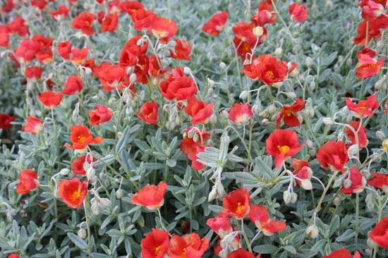 Great Design Plant: Sunrose Dazzles on Dry Slopes (6 photos)