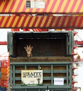 Ntombi arrives at Port Botany in Sydney, Australia On His Way To Taronga's Western Plains Zoo