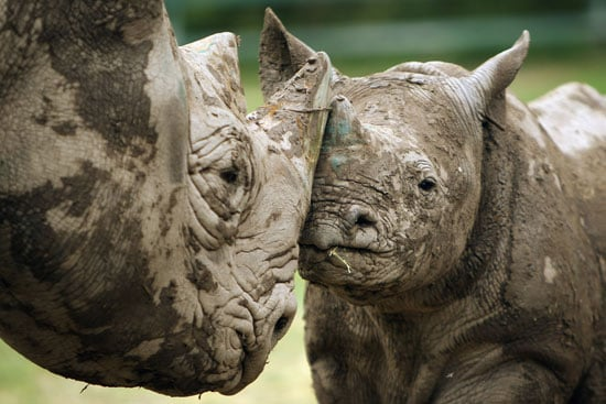 Like white rhinos, black rhinos are actually gray but are distinguished from their cousins by their pointy upper lip.