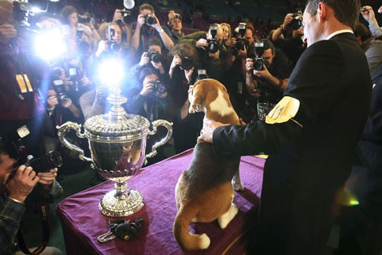 Super Cute Gallery: Big Beagle Being the Big Winner at Westminster!
