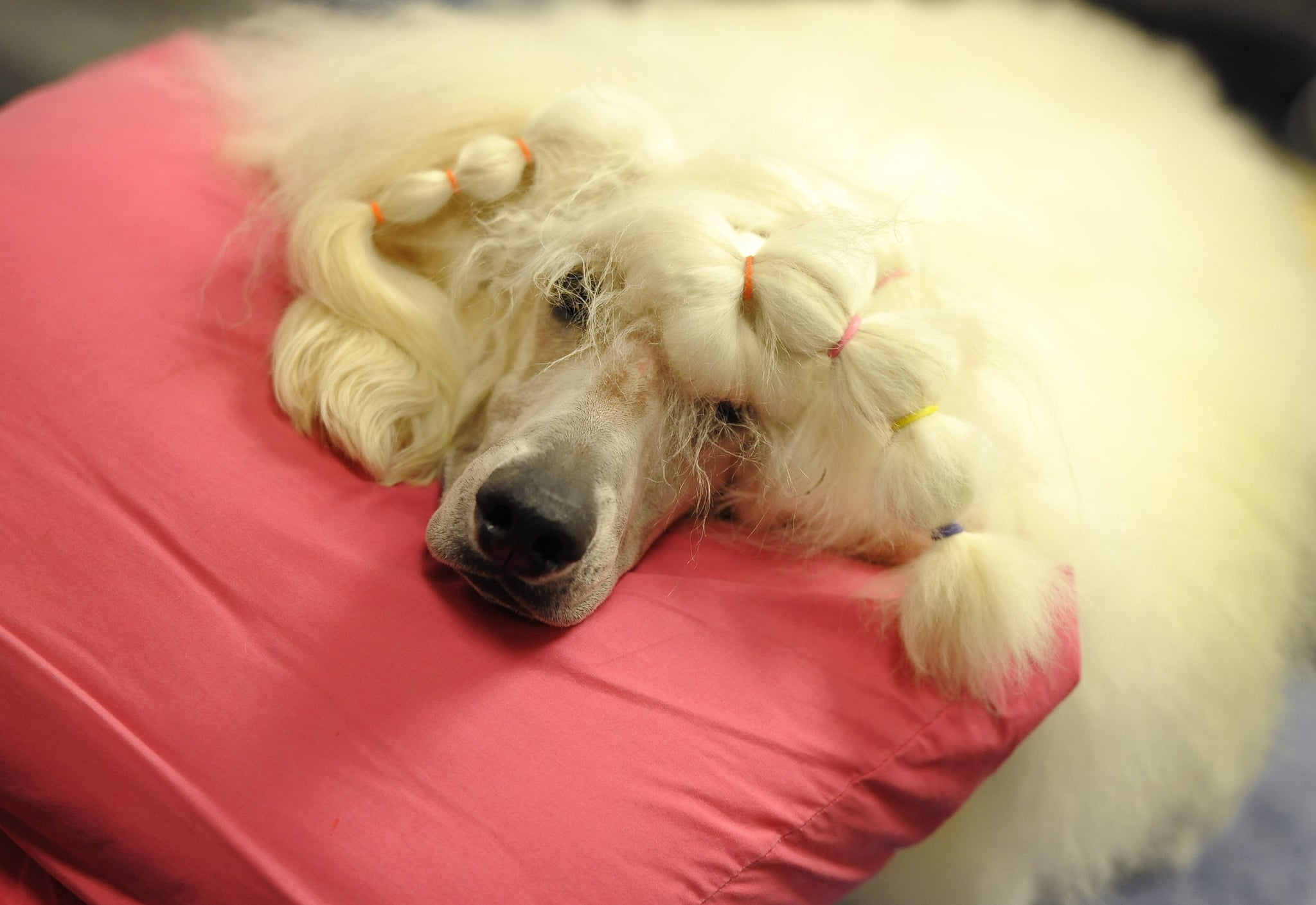 A Standard Poodle rests up before the Non-Sporting Group breeds begin.