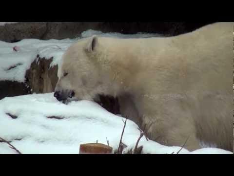 Lincoln Park Zoo Sequestered Polar Bear