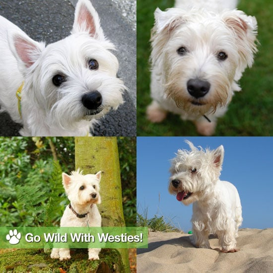 West Highland Terrier Pictures