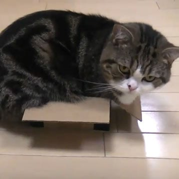 Video of Maru the Cat in Boxes