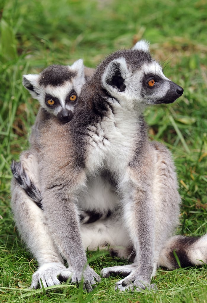 Lemurs use scent to mark territory and aid in breeding. During mating season, males will cover their long tails in stinky secretions and wave them around for all to smell.