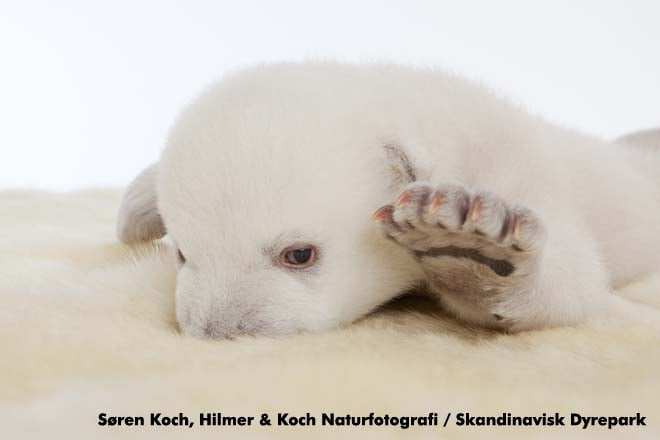 Polar Bear Siku Guzzles Milk and Melts Hearts