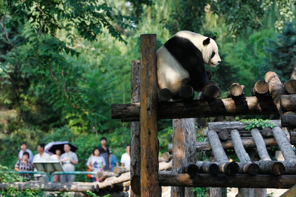 Even pandas love play structures!