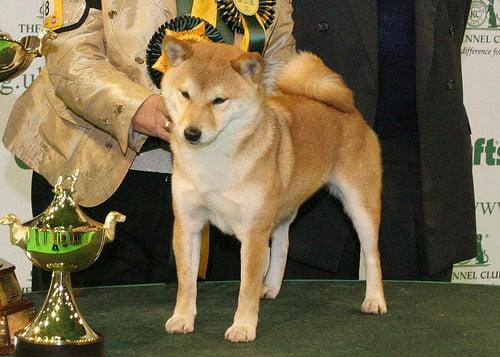 2008 Crufts Winners: Toy, Utility, and Gundog Groups
