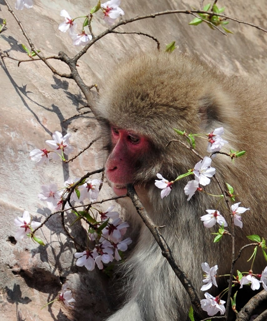At Tokyo's Ueno Zoo, Japanese macaques enjoy a cherry blossom snack during the Spring. But in the wild, they have adapted to a number of environments, including the snowy mountains, subtropical islands, and deciduous forests of Japan.
