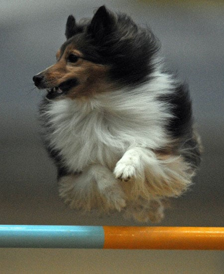 Picture of a Dog at Agility Competition