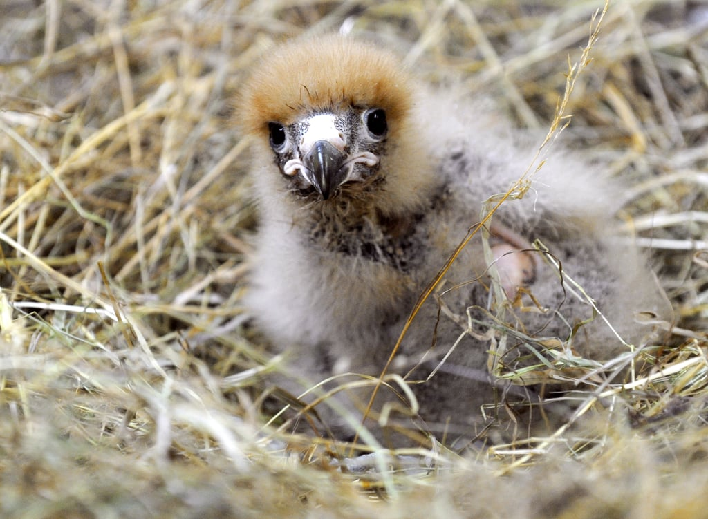 This Mountain Caracara chick quietly rings in the new season. Source: Getty