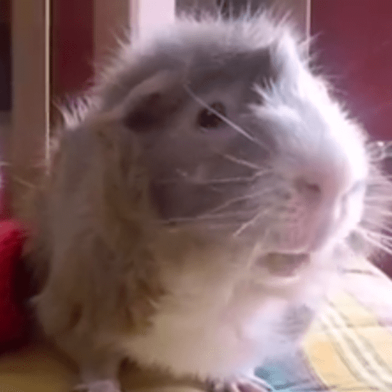 Guinea Pigs Talk About Pumpkin | Video